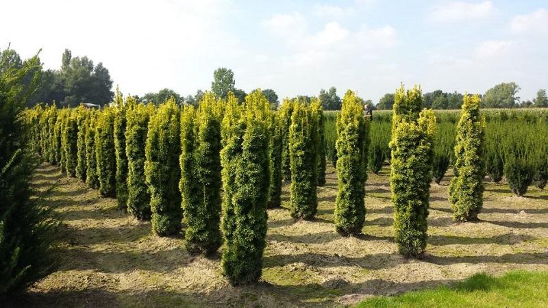 Ягодный тис: описание, сорта, в ландшафтном дизайне
