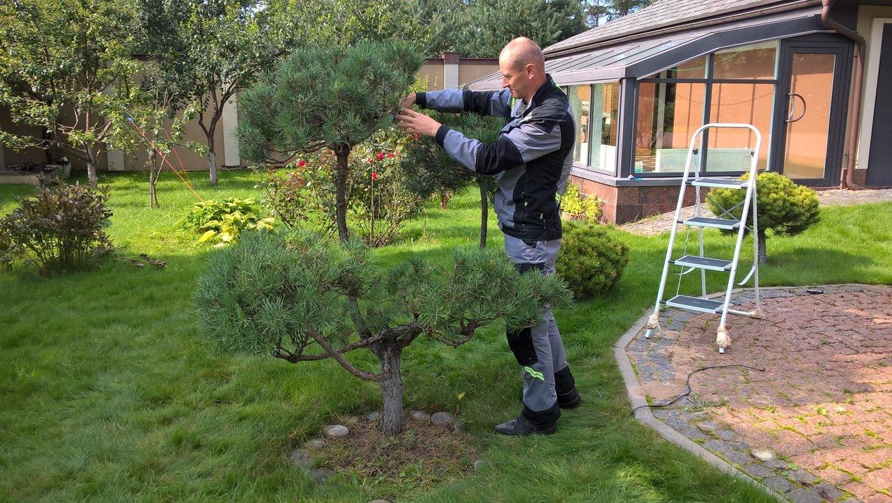 Как формировать сосну обыкновенную в саду