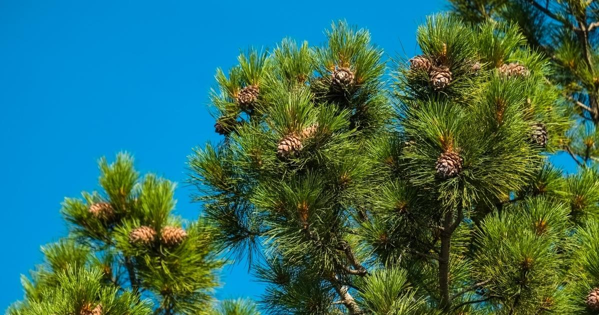 Сибирская сосна и кедр одно и тоже – описание сосны. Посадка и выращивание саженцев на даче. Как цветет дерево? Особенности корневой системы. Когда начинает плодоносить?