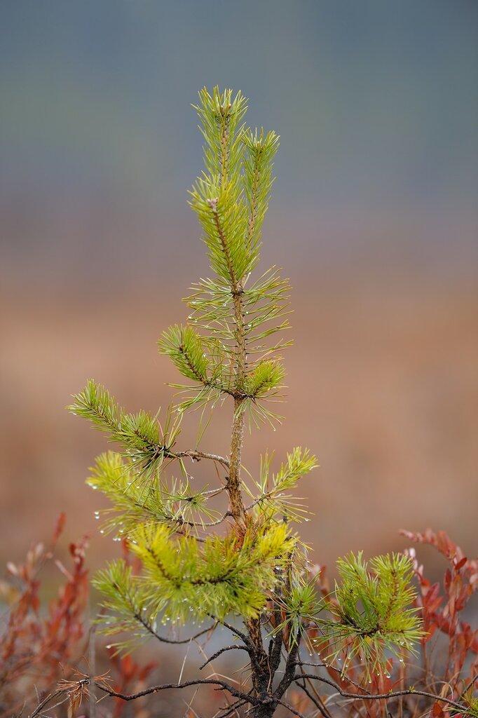 Время посадки сосен осенью
