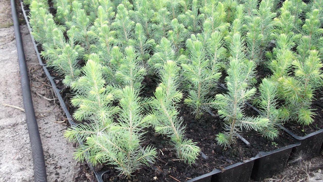 Можно ли вырастить елку в домашних условиях