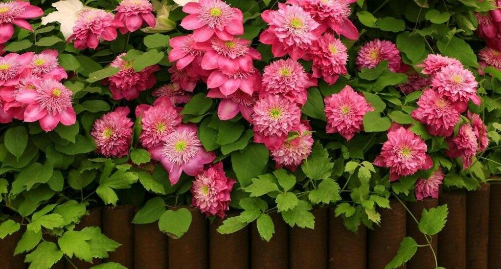 Розовые клематисы 21 фото описание сортов розового цвета горных махровых мелкоцветковых и других видов клематиса