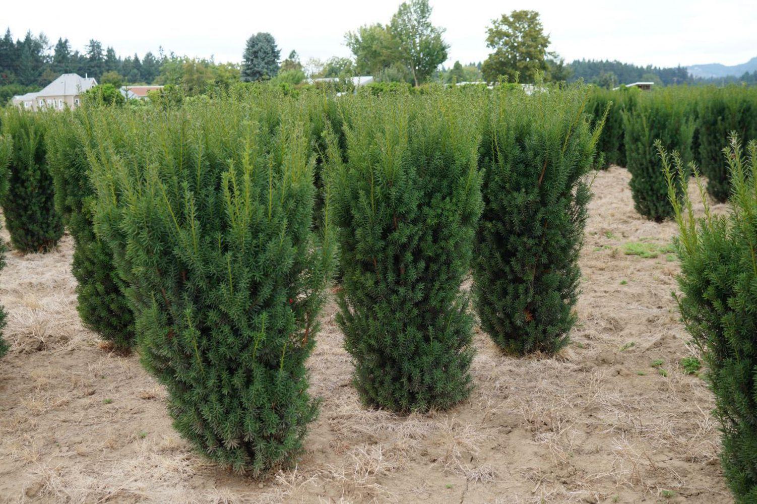 Хвойное дерево тис коротколистный: фото растения, где растет тис
