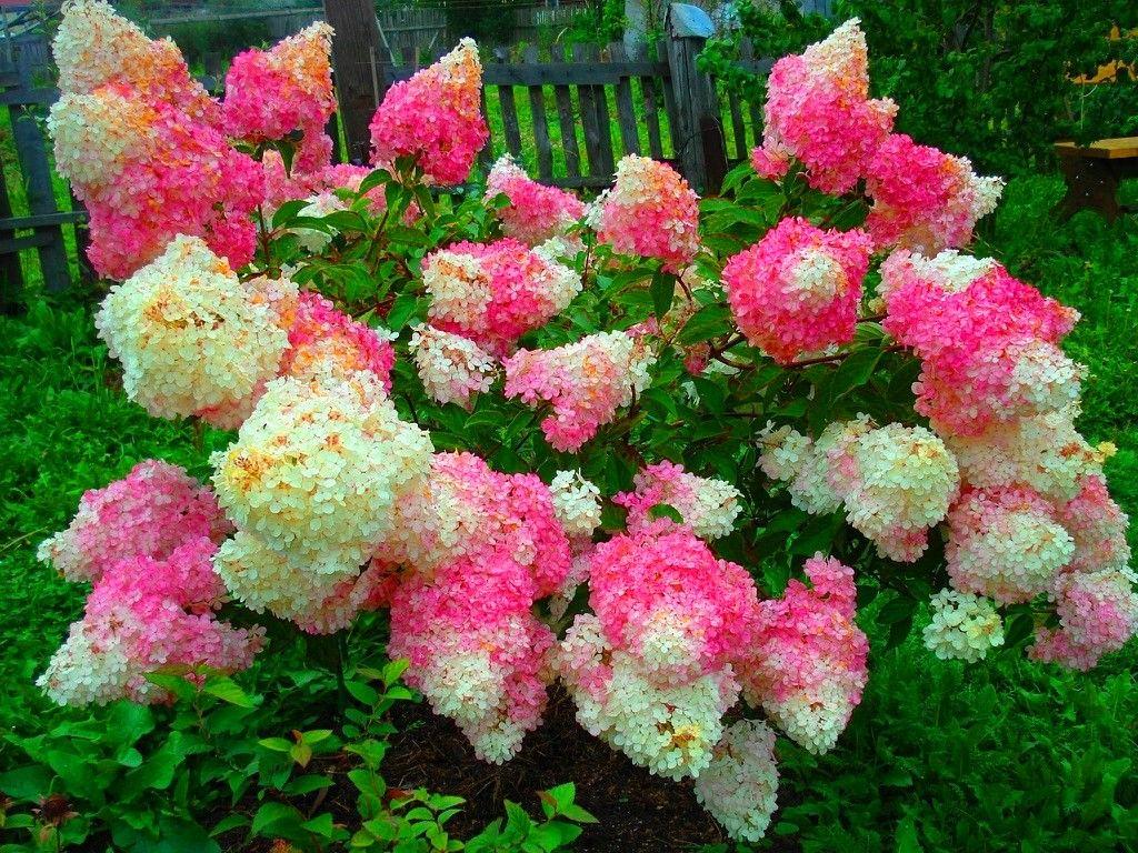 Как рассадить гортензию садовую: делением куста, когда лучше, как разделить куст для размножения