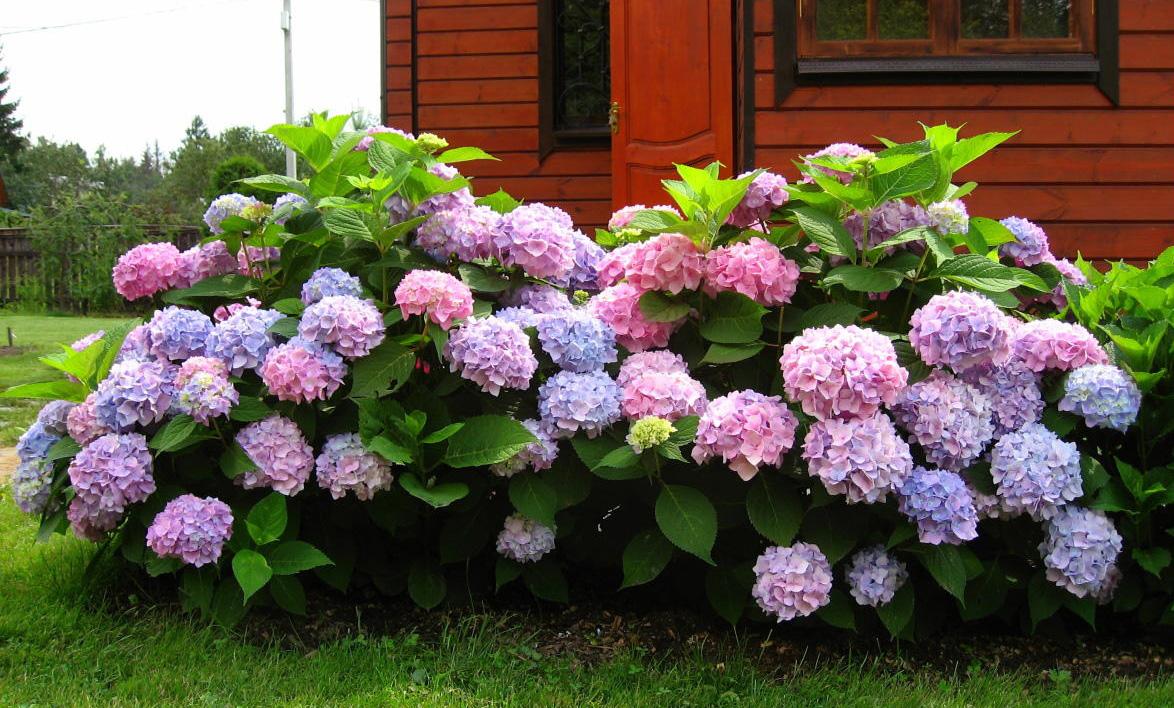 оказалось декоративные садовые кустарники фото и названия часть сетчатки участвует