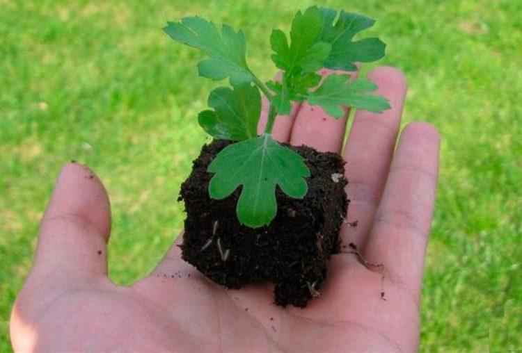 Как посадить многолетние хризантемы