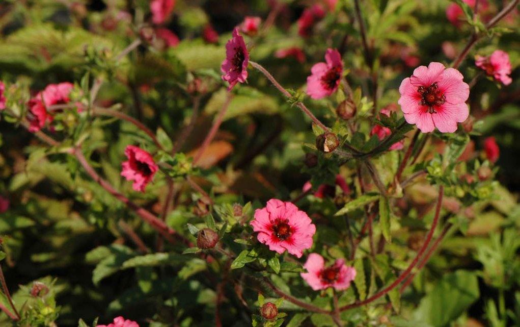 Лапчатка непальская особенности растения посадка и уход видео