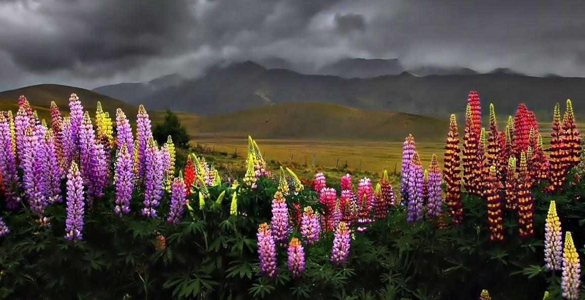 Цветы люпин – посадка, выращивание и уход, фото