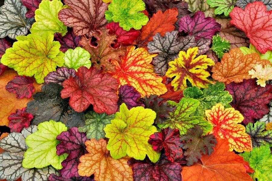 Размножение гейхеры: как размножить листом, делением куста и черенками? Когда можно делить и рассаживать?
