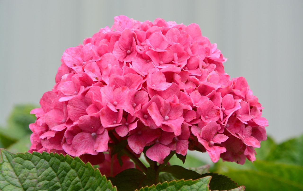 Гортензия метельчатая розовая