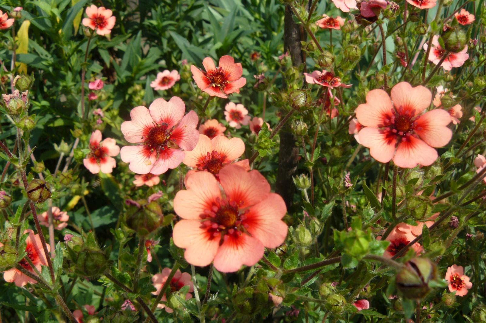 Лапчатка кустарниковая - декоративные сорта и особенности выращивания