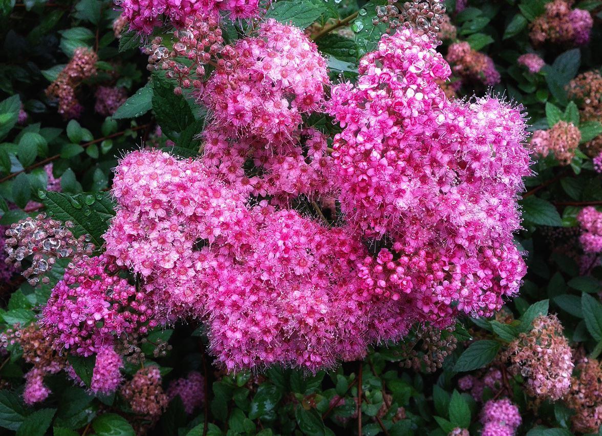 Спирея иволистная розовая