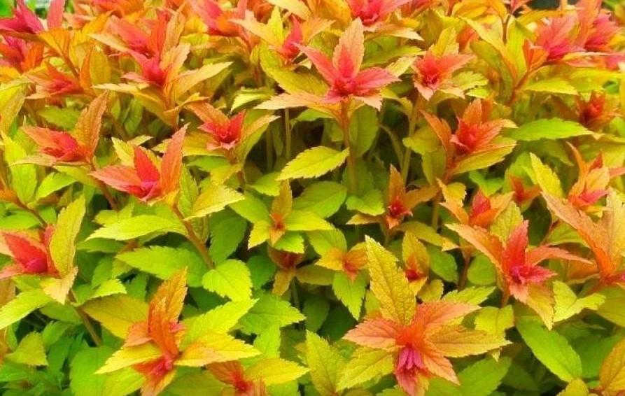 Как рассадить спирею делением куста, можно ли размножить при пересадке осенью и летом