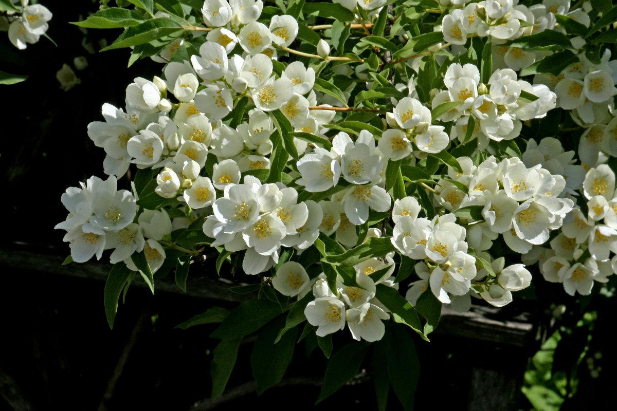 Чубушник (94 фото): описание садового жасмина. Почему кустарник не цветет? Растение чубушник виргинский и другие сорта для Сибири и других мест