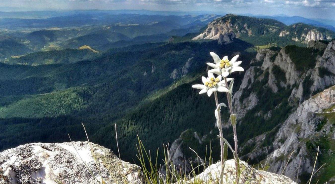 Эдельвейс альпийский: описание сорта, посадка и уход, выращивание из семян