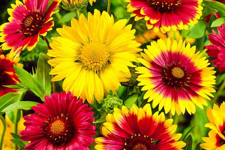 Гарландия цветок