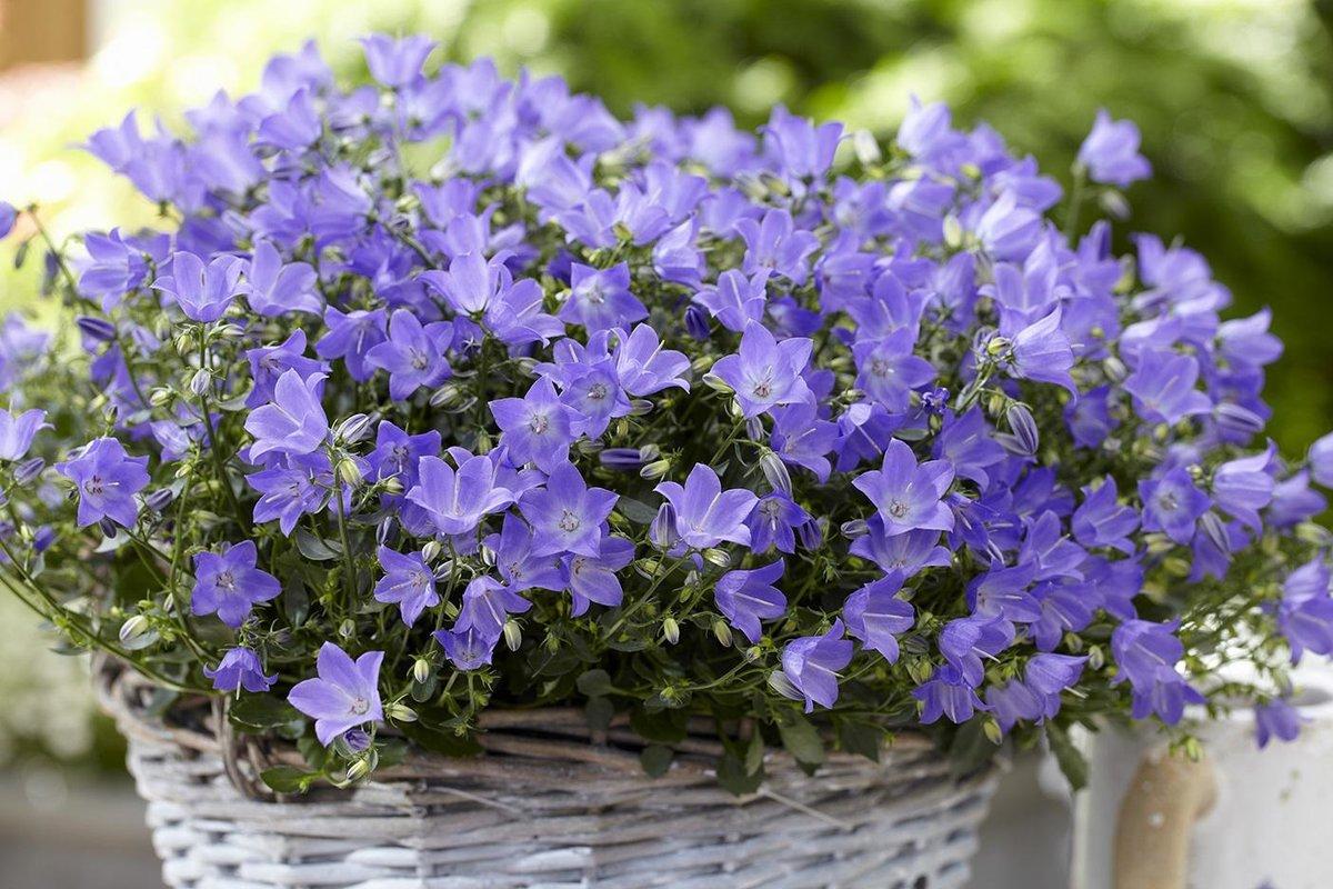 Свадьбу, колокольчики цветы купить киев