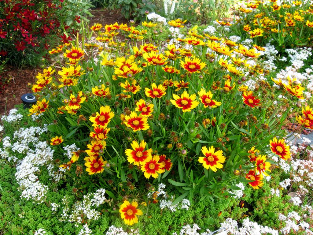 Кореопсис выращивание из семян однолетний