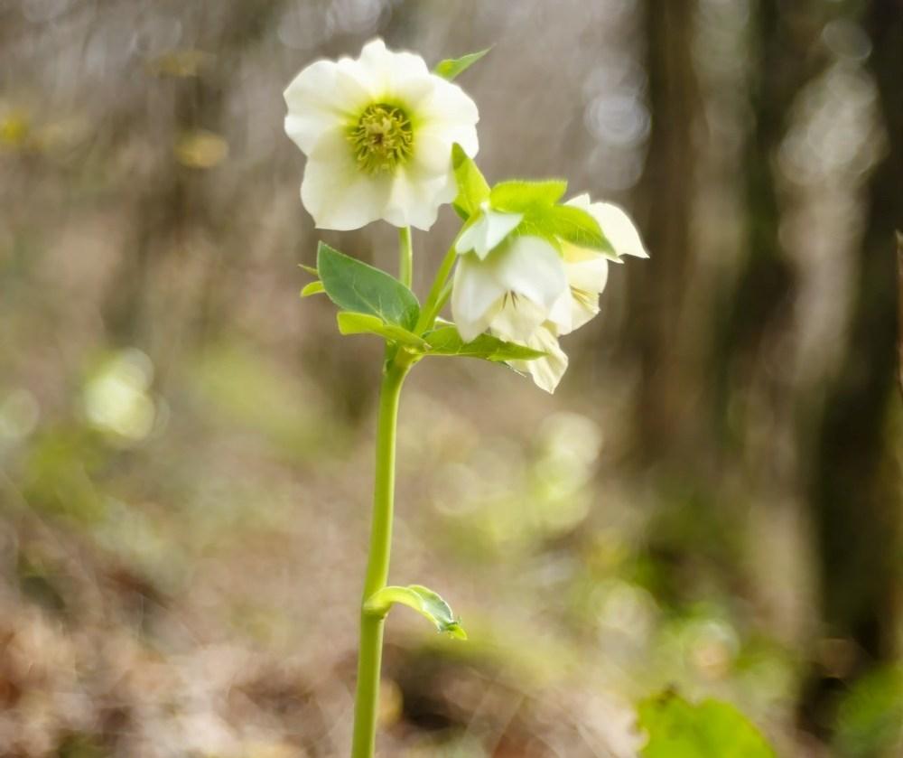 Цветы морозники