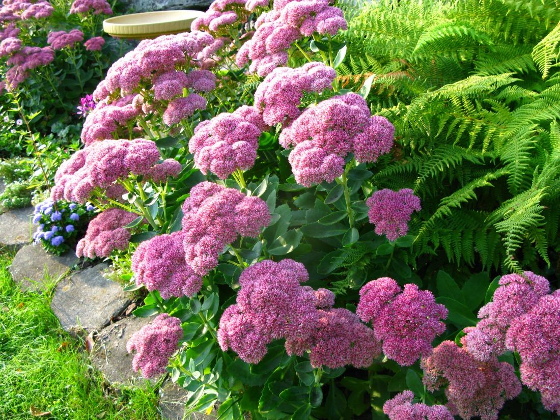 Очиток виды и сорта седума посадка и уход размножение и применение в дизайне сада