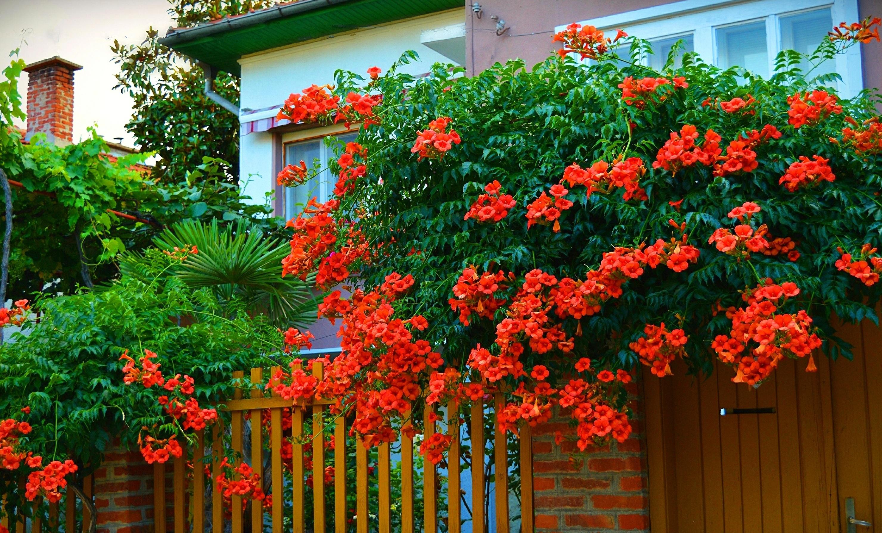 Посадка и уход за кампсисом в средней полосе: кампсис в Московской области, зимовка лианы. Почему он не цветет в Подмосковье?