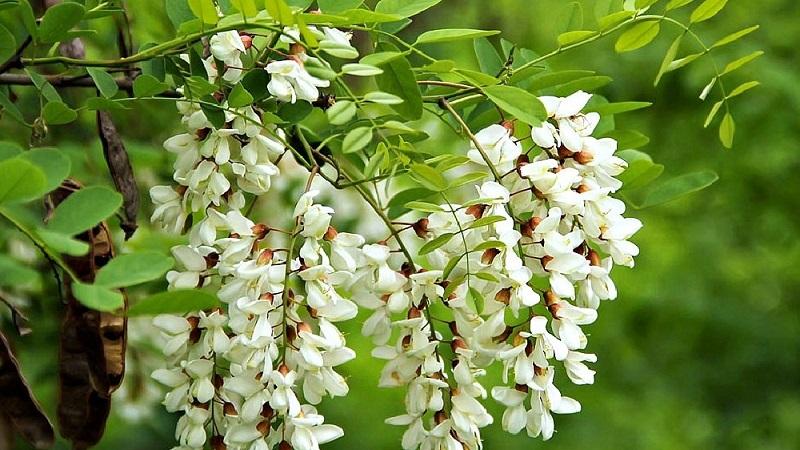 Акация розовая (Робиния клейкая -Robinia Viscosa)