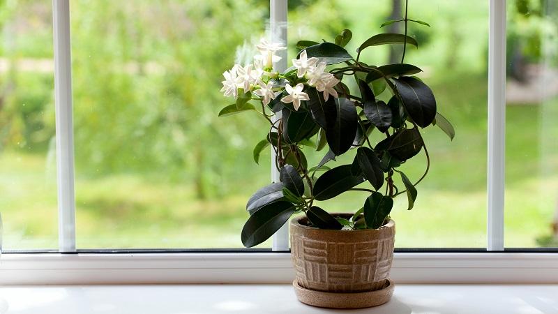 Как выращивать комнатный жасмин