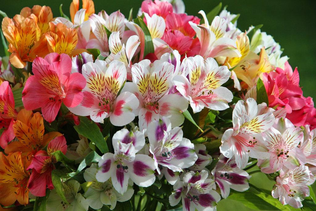 Что значит альстромерия на языке цветов