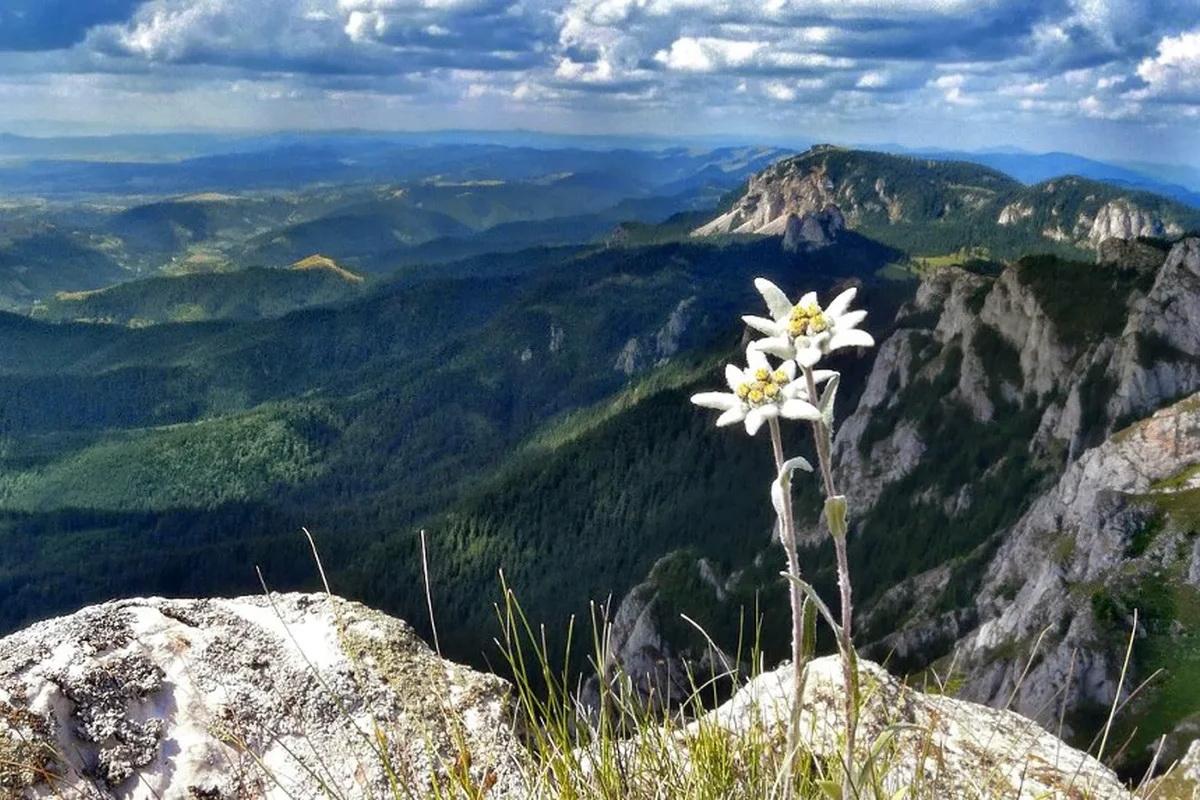 Эдельвейс (42 фото): что такое и где растет цветок? Горный леонтоподиум и другие садовые виды. Посадка и уход