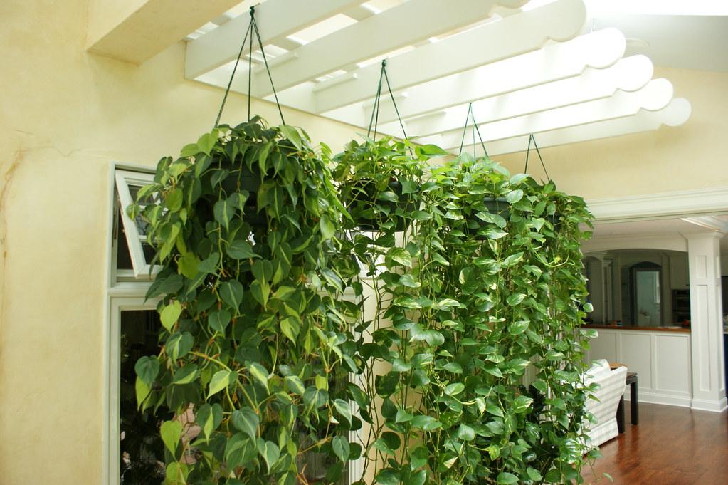 Растения свисающие из горшка