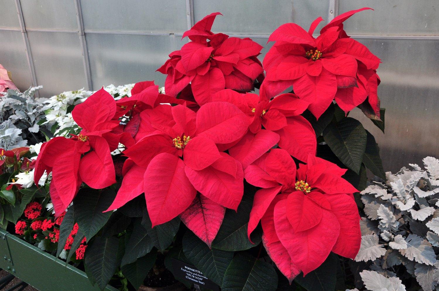 Комнатный цветок с красными листьями: название, фото и уход