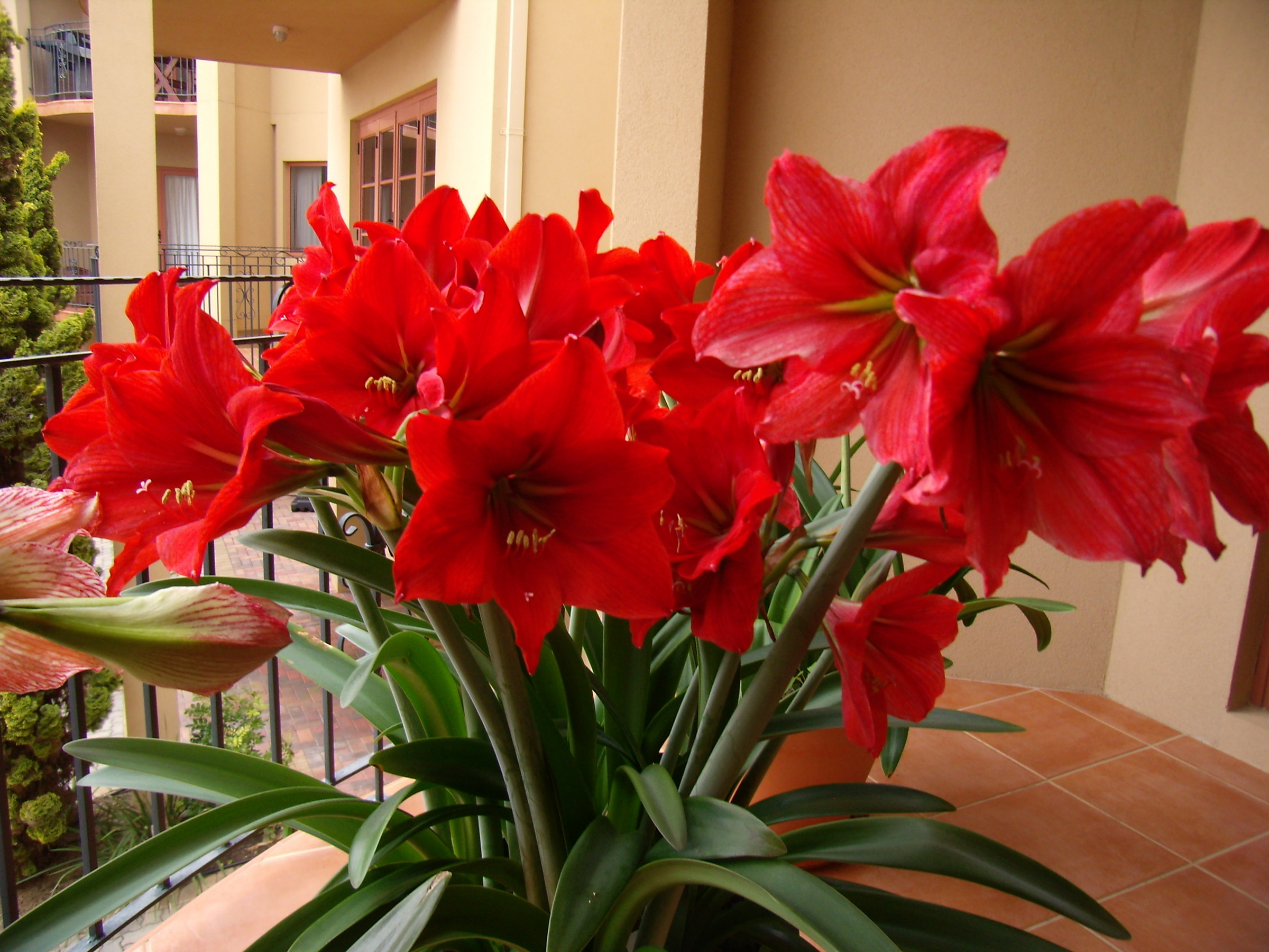 Цветы гузмания. Уход в домашних условиях за гузманией комнатной. Цветок гузмания минор, гузмания рондо: размножение, пересадка, цветение, детки. Растение гузмания.