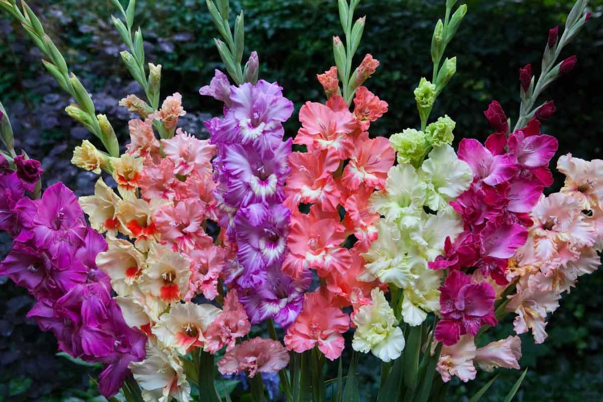 цветы садовые гладиолусы картинки впервые увидела