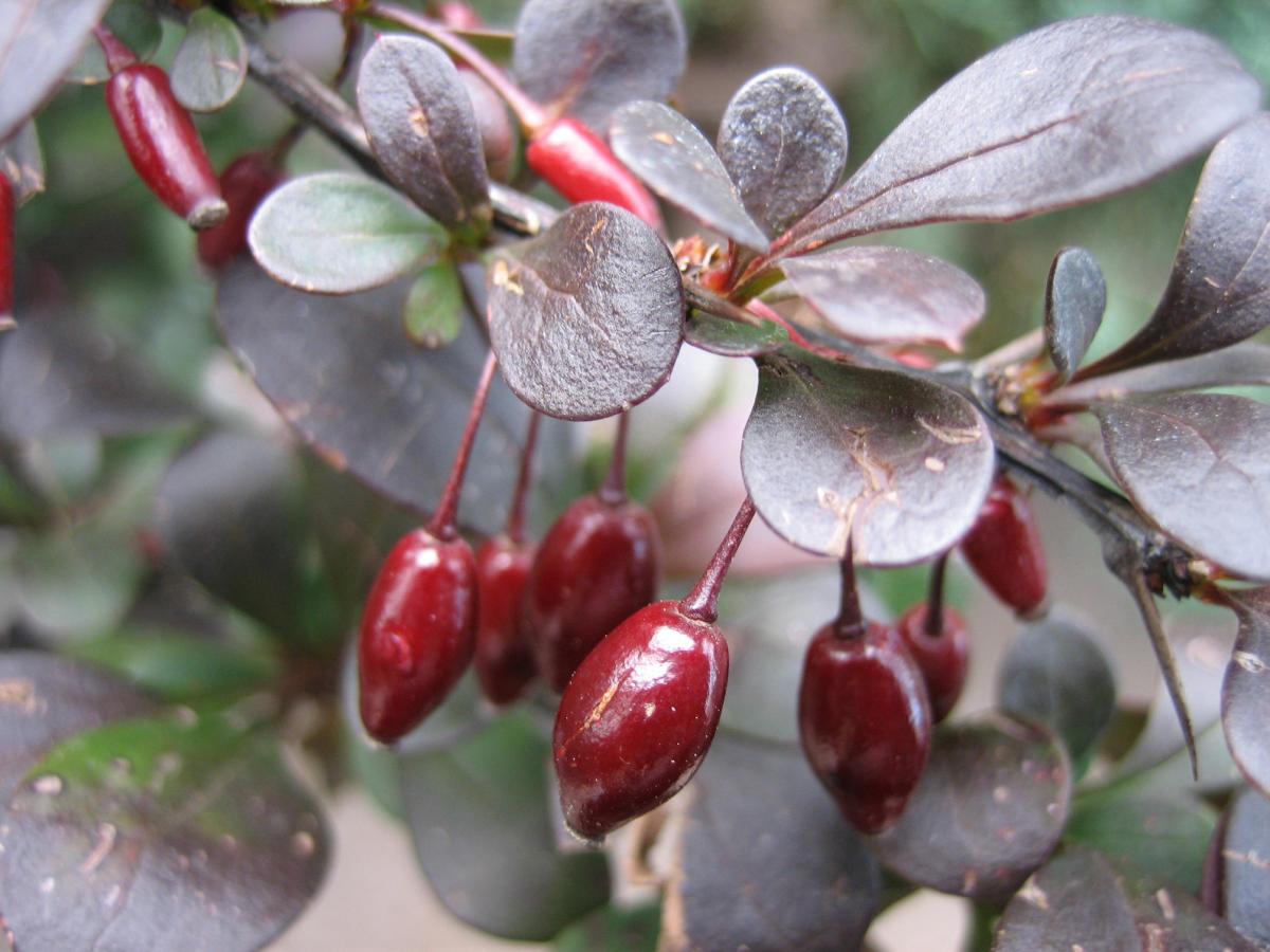 Барбарис со съедобными плодами сорта