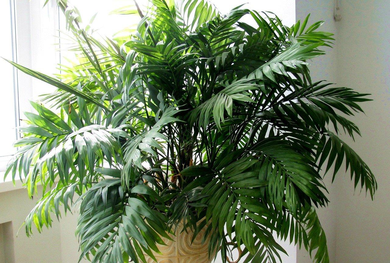 Пальма Хамедорея: уход в домашних условиях за растением