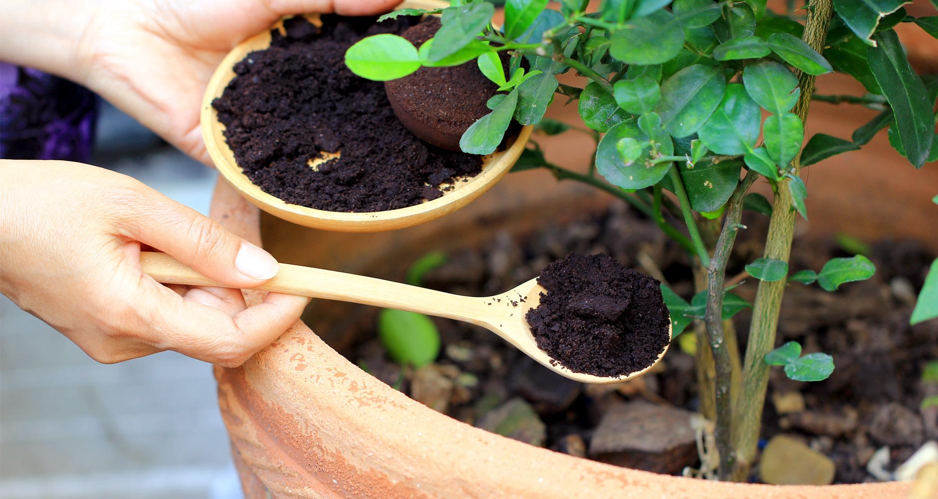 Кофе как удобрение: для каких растений на огороде подходит жмых и молотый кофе и как использовать в качестве удобрения?