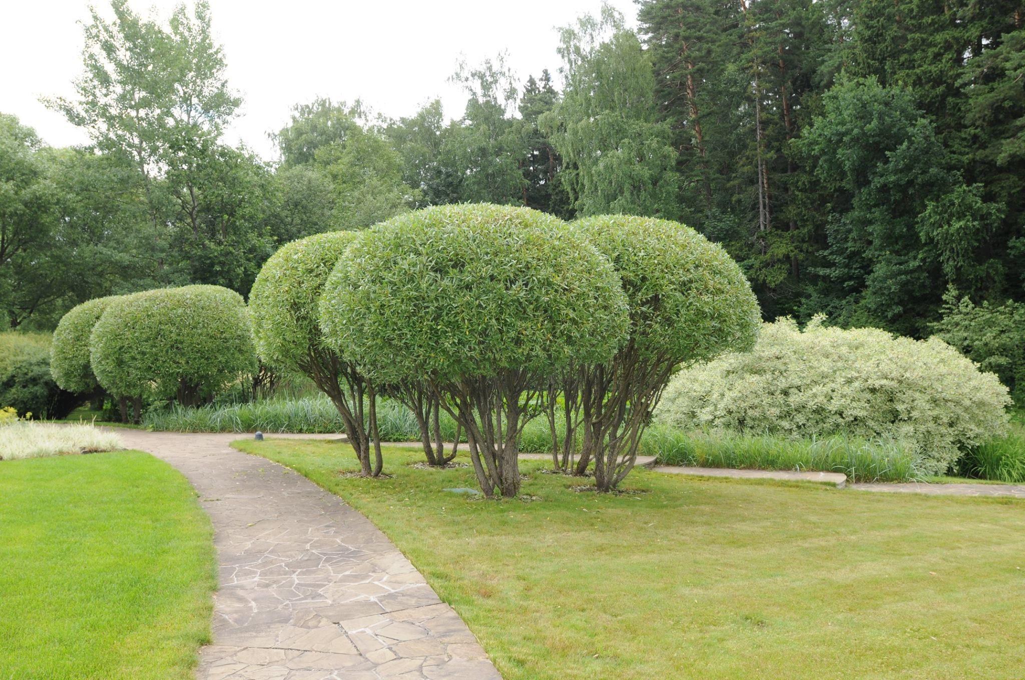 Деревья для ландшафтного дизайна фото и названия