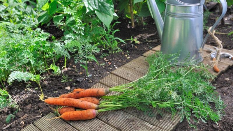 полив моркови после