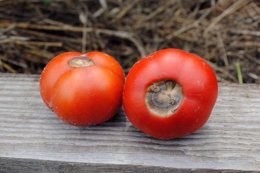 помидоры сухая гниль в теплице как бороться