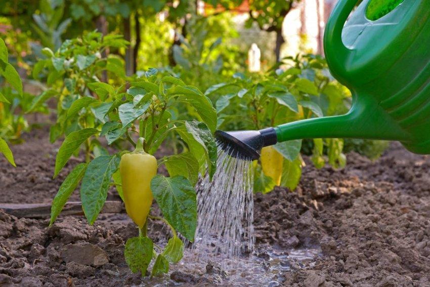 когда поливать рассаду перца утром или вечером