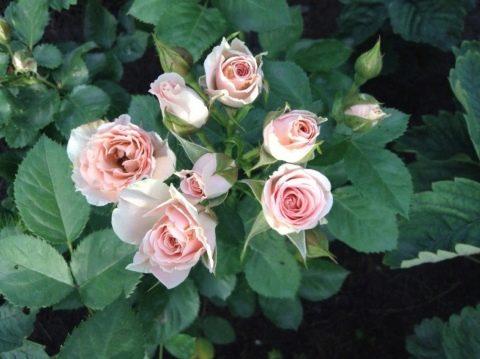 розы патио и спрей что это такое