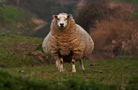 беременность овцы сколько месяцев