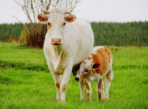 беременность у коров сколько длится