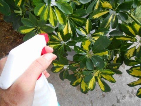 Осыпаются листья у шефлеры