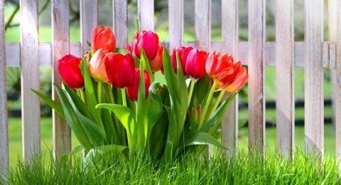можно ли сажать тюльпаны в дождливую погоду