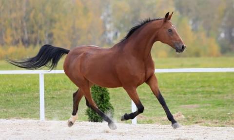 гнедые лошади фото