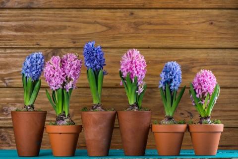 Выращивание гиацинтов в саду и в домашних условиях из луковицы ... | 320x480