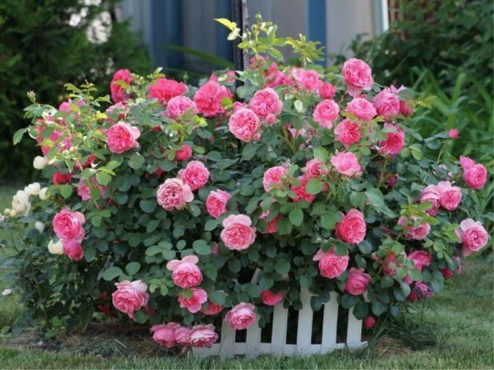 Розы все о них