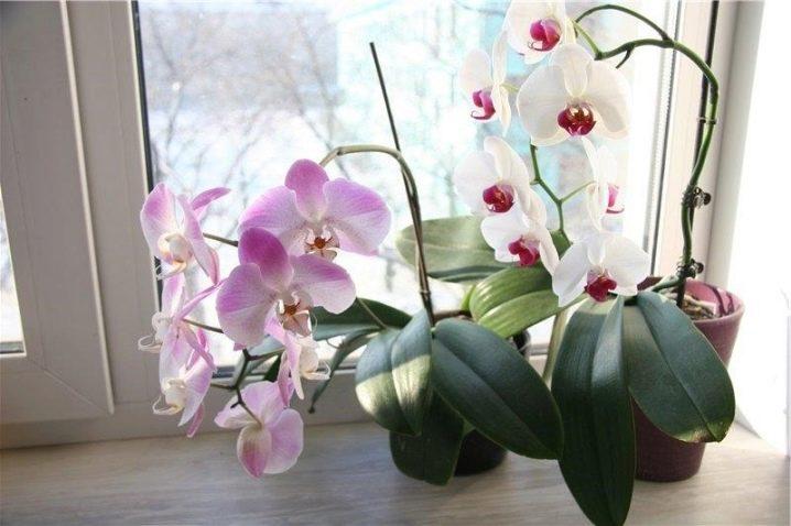 В грунте орхидеи завелись мелкие мошки