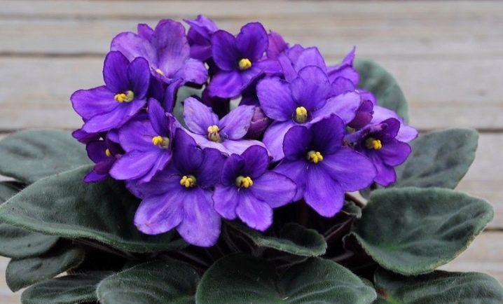 Как выращивать фиалки в домашних условиях семенами?